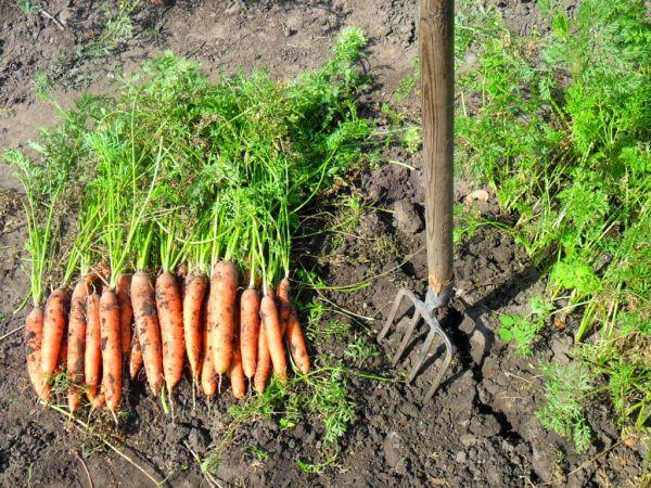 Благоприятные дни для сбора моркови в 2020 году