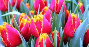 Посадка тюльпанов осенью когда и как посадить в Ленинградской области
