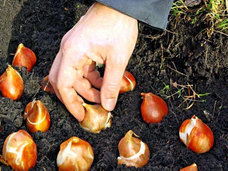 Посадка тюльпанов осенью по лунному календарю 2020