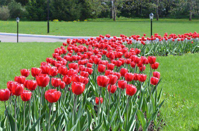 Посадка тюльпанов осенью когда и как посадить на Урале