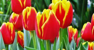 Посадка тюльпанов осенью когда и как посадить в Сибири
