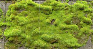 Как посадить мох на участке вместо газонной травы? Где его взять?
