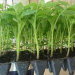 Благоприятные дни для посадки томатов в марте 2021 года по лунному календарю