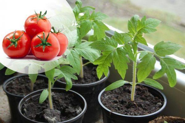 Благоприятные дни для посадки томатов 2021 года по лунному календарю