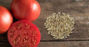 Закаливание семян томатов перед посадкой в холодильнике