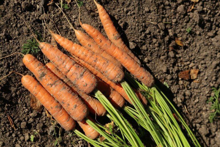 Благоприятные дни для посадки моркови в 2021 году по лунному календарю