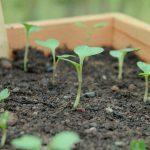 Посадка капусты на рассаду в 2021 году по лунному календарю в мае