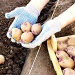 Проращивание картофеля перед посадкой сроки и температура