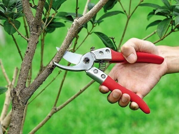 Обрезка плодовых деревьев весной сроки и схема весенней обрезки