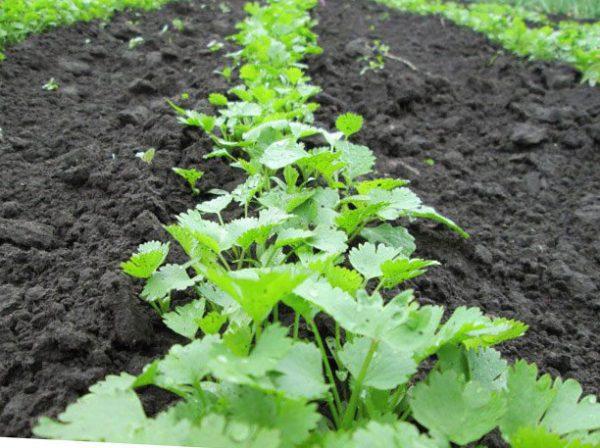 посадка петрушки весной посев когда сеять как сажать правильно