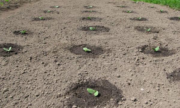 Посадка кабачков на рассаду в 2021 году по лунному календарю