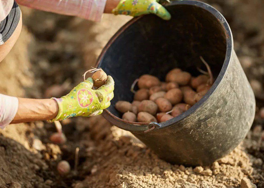 Благоприятные дни для посадки картофеля в апреле 2021 году по лунному календарю