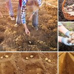 Благоприятные дни для посадки картофеля в июне 2021 году по лунному календарю