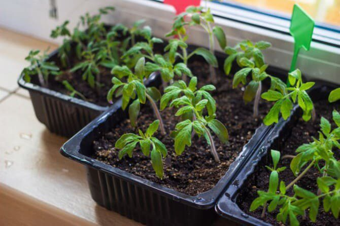 Подкормка для рассады перца и помидор для роста и толщины