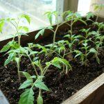 Пропадает рассада помидор: что делать, чем подкормить?