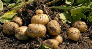 Удобрение земли весной перед посадкой картофеля