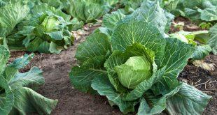 Лучшие сорта капусты на 2021 год для хорошего урожая