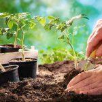 Когда высаживать рассаду помидор в открытый грунт 2021 благоприятные дни
