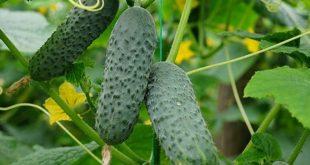 Какой сорт огурцов самый урожайный в открытом грунте для засолки