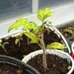 Желтеют листья у рассады томатов: что делать?