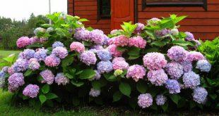 Удобрение гортензии весной для цветения