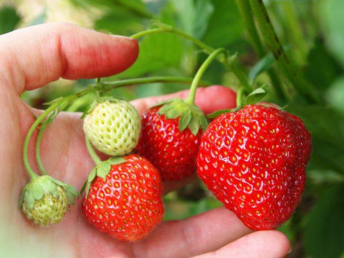 Как правильно обработать клубнику весной чтобы получить хороший урожай