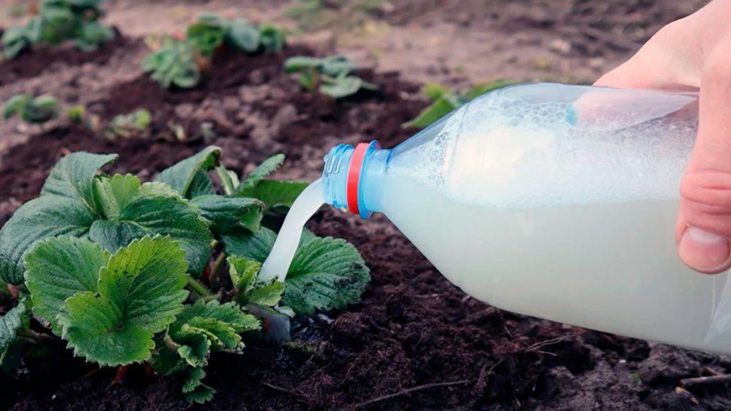 Подкормка клубники дрожжами весной для большого урожая