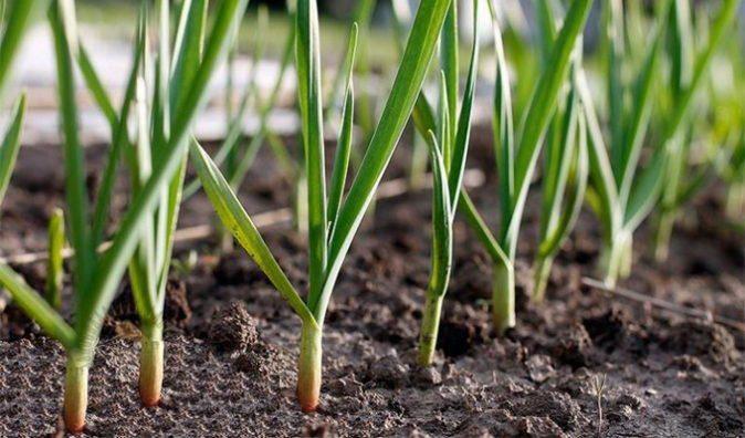 подкормка чеснока весной для большого урожая