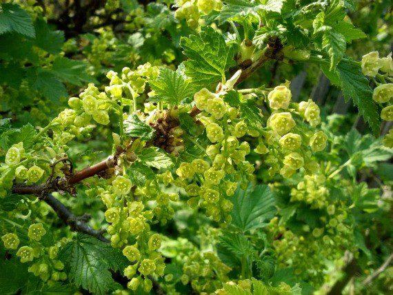 Подкормка смородины весной для большого урожая до цветения