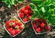 Как ускорить созревание клубники в открытом грунте весной