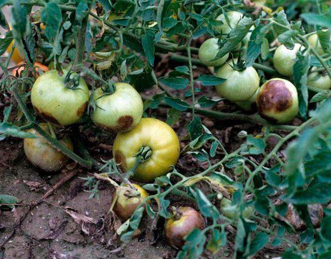 Фитофтора на помидорах как бороться в открытом грунте