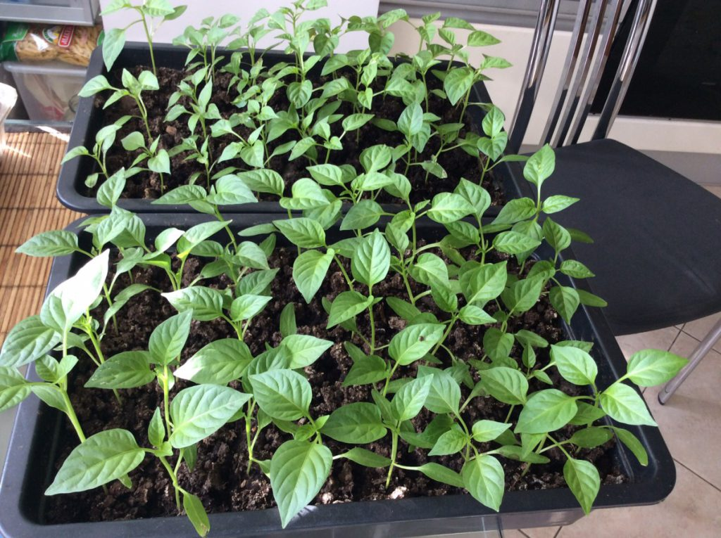 Посев семян перца на рассаду в феврале 2022 году благоприятные дни