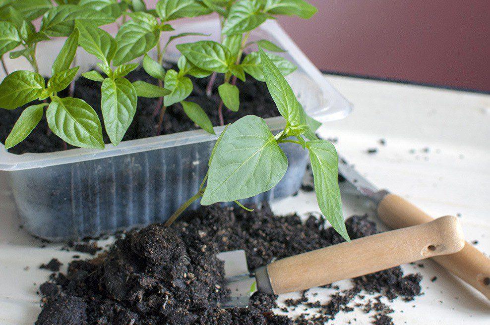 Посев семян перца на рассаду в январе 2021 году благоприятные дни