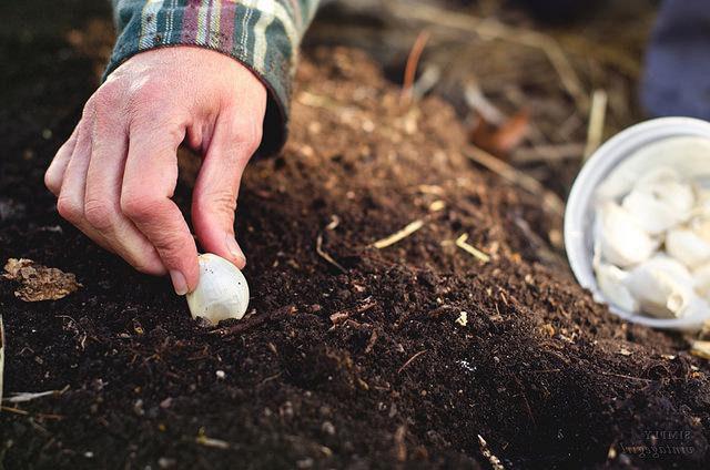 Посадка чеснока осенью 2021 года по лунному календарю на Урале