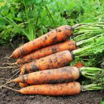 Посев моркови в октябре 2021 по лунному календарю