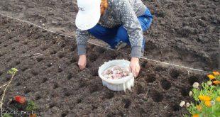 Посадка чеснока осенью 2021 года по лунному календарю в Сибири