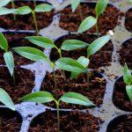 Когда сажать перец на рассаду в 2022 году в Подмосковье?