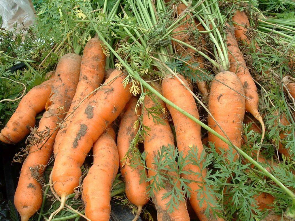 Посадка моркови осенью 2021 под зиму в Сибири