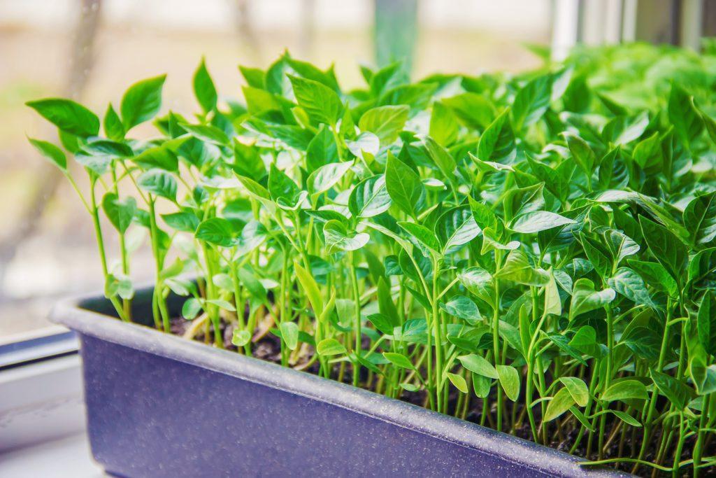 Посев семян перца на рассаду в марте 2022 году благоприятные дни